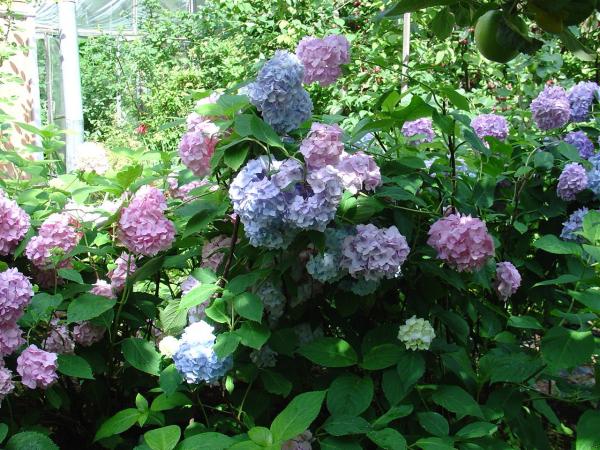 Hortensien schneiden Gartengestaltung
