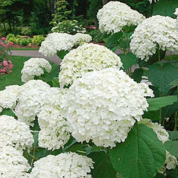 Hortensien schneiden - Ideen für den Garten