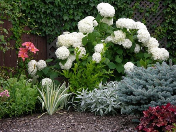 Hortensien schneiden Kiesgarten modern