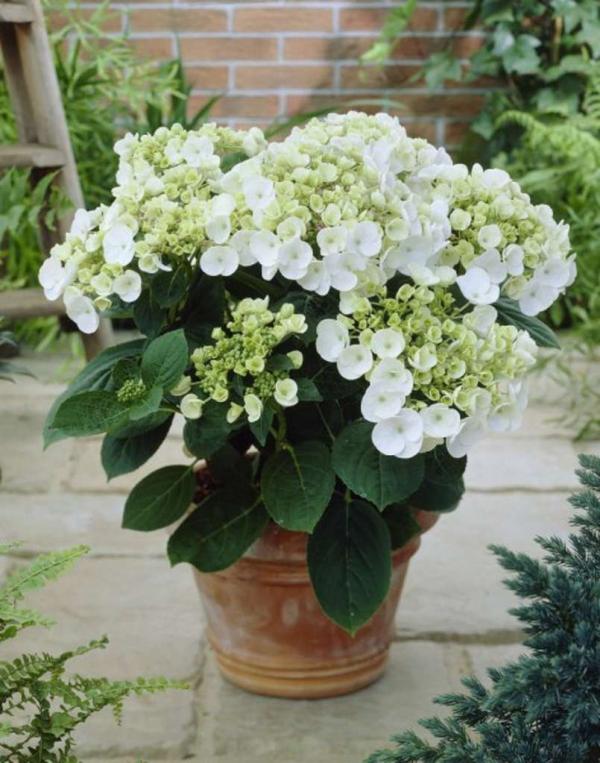 Hortensien schneiden Pflanzen pflegen Topf