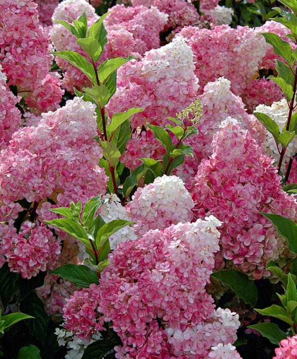 Hortensien schneiden Rosa Blüten Ideen