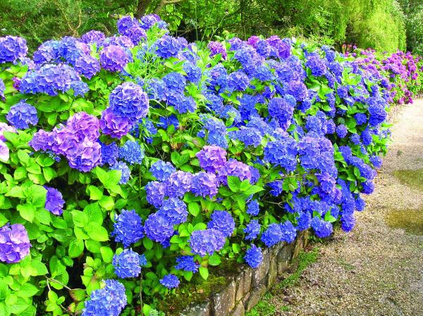 Hortensien schneiden - blaue Blüten - Hotensien Blüten schneiden wann