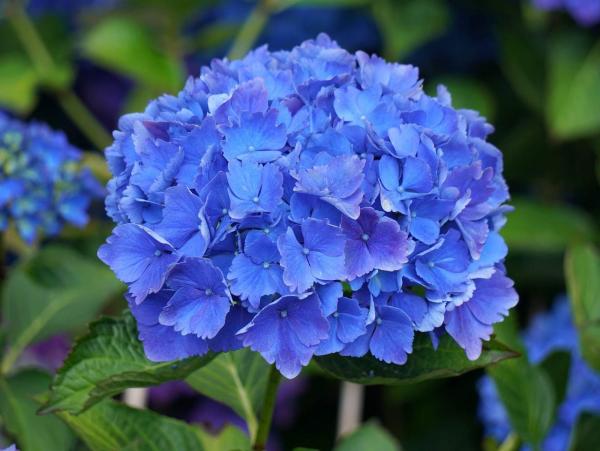 Hortensien schneiden - blaue Blüten Ideen