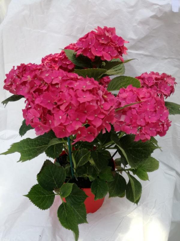 Hortensien schneiden - elegante Ideen Hortensien und andere Blüten