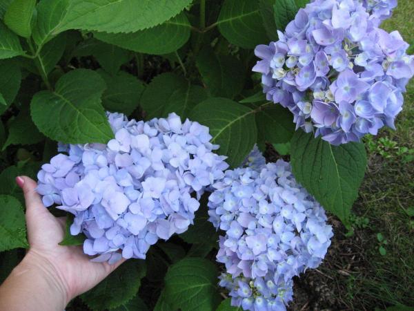 Hortensien schneiden hellblaue Farbenpracht Ideen