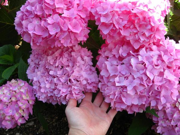Lila Ideen mit tollen Hortensien schneiden