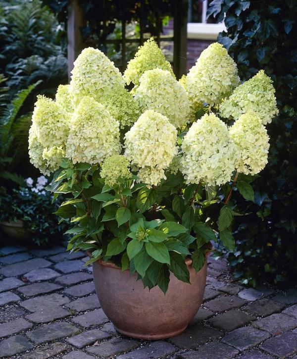 Moderne Gartengestaltung Hortensien schneiden