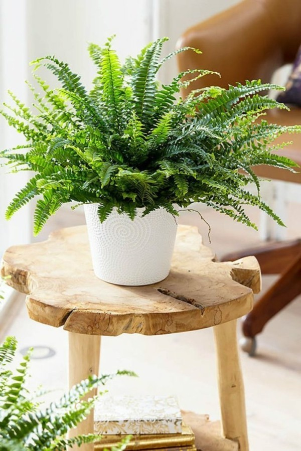 Nephrolepis exaltata luftreinigende büropflanzen