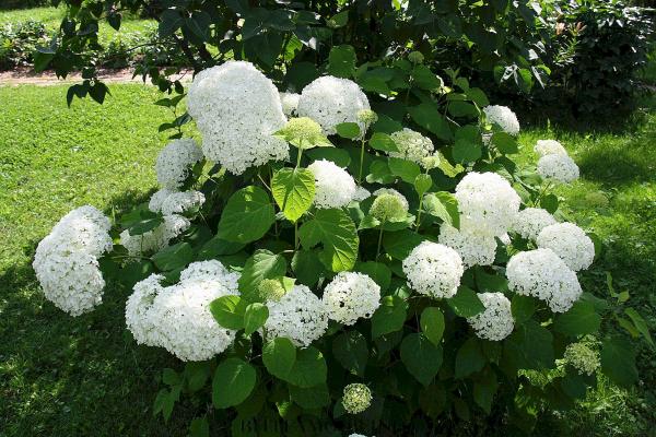 Pflanzen Ideen - weiße Hortensien schneiden