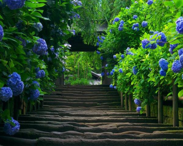 Schöner Weg - tolle Hortensien schneiden