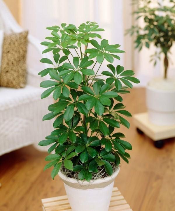 Schefflera arboricola luftreinigende büropflanzen