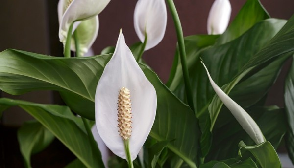 Spathiphyllum einblatt friedenslilie büropflanzen