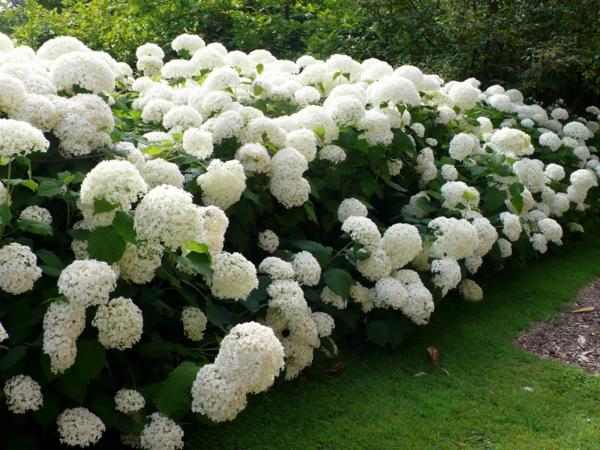 Weiße Hortensien schneiden - Gartengestaltung Ideen