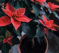 Wie kann man den Weihnachtsstern richtig pflegen und länger schön halten