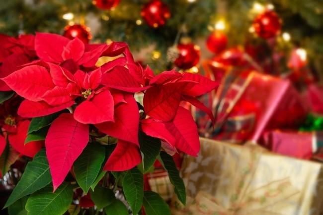 Weihnachtsstern richtig pflegen Teil der Weihnachtsdeko schöne rote Hochblätter