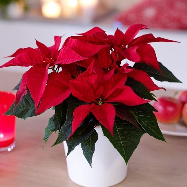Weihnachtsstern richtig pflegen auch nach der Adventszeit leuchtend rote Hochblätter eyecatching im Raum