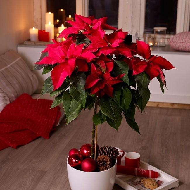 Weihnachtsstern richtig pflegen gehört traditionell zu unserer Weihnachtsdeko