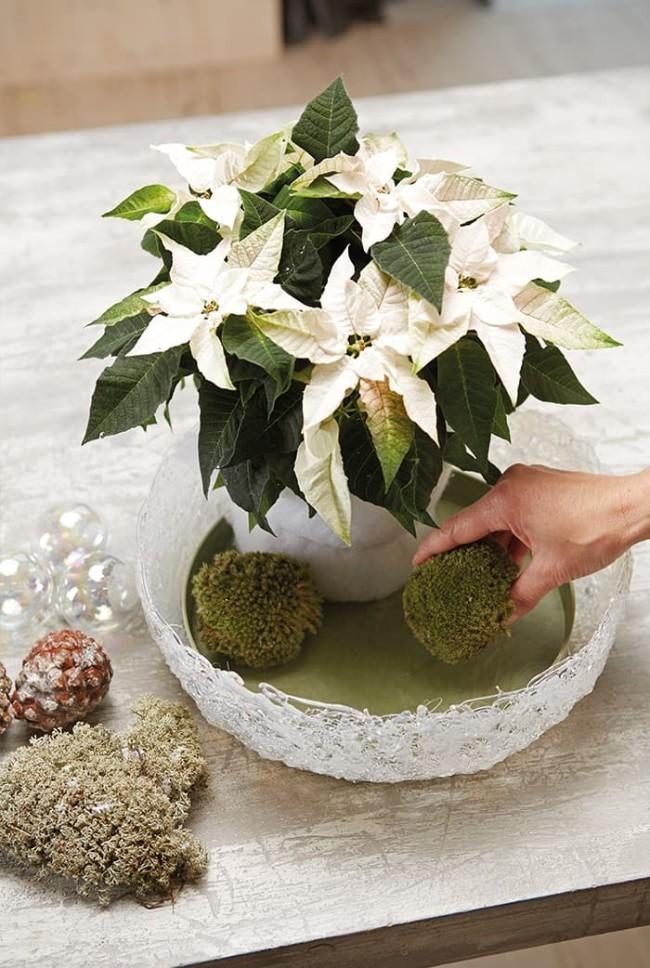 Weihnachtsstern richtig pflegen gießen in Maßen Pflanze mit weiß gefärbten Hochblätter