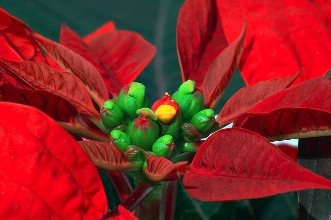 Weihnachtsstern richtig pflegen kleine Blüten aus der Nähe betrachtet schöne rote Hochblätter