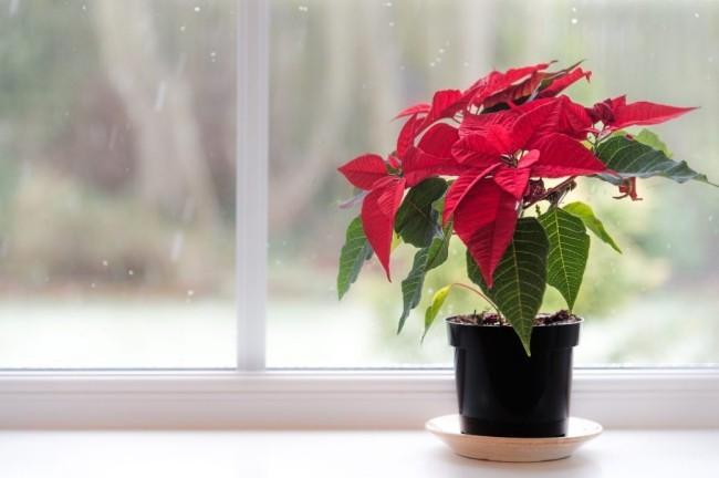 Weihnachtsstern richtig pflegen schöne blutrote Hochblätter im Topf auf der Fensterbank