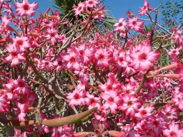 adenium exotische pflanze wüstenrose