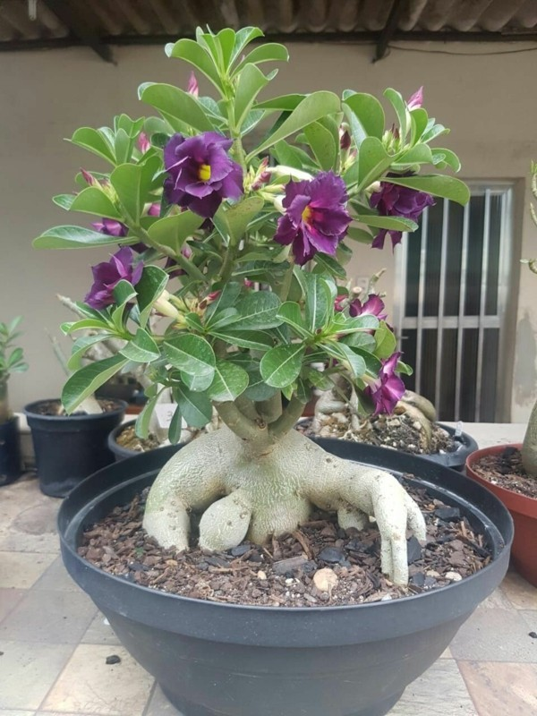 adenium wüstenrose lila blüten