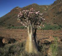 So pflegen Sie Ihre Wüstenrose richtig – Tipps und Tricks für noch mehr herrliche Blüten
