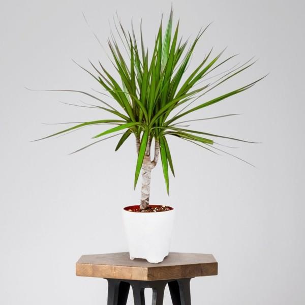 büropflanzen Dracaena drachenbaum