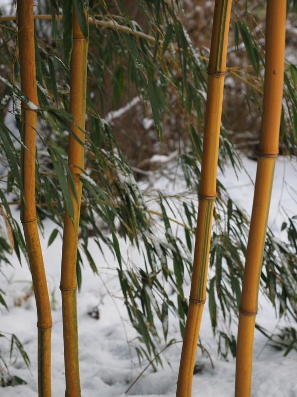 bambus richtig pflegen gartentipps januar