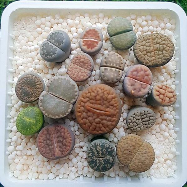 bunte lebende steine auf weissem substrat