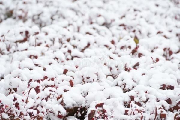 gartentipps januar schnee winterpflanzen pflegen