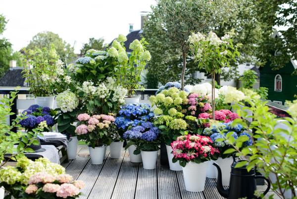 kleiner Garten Tipps und Ideen Hortensien schneiden