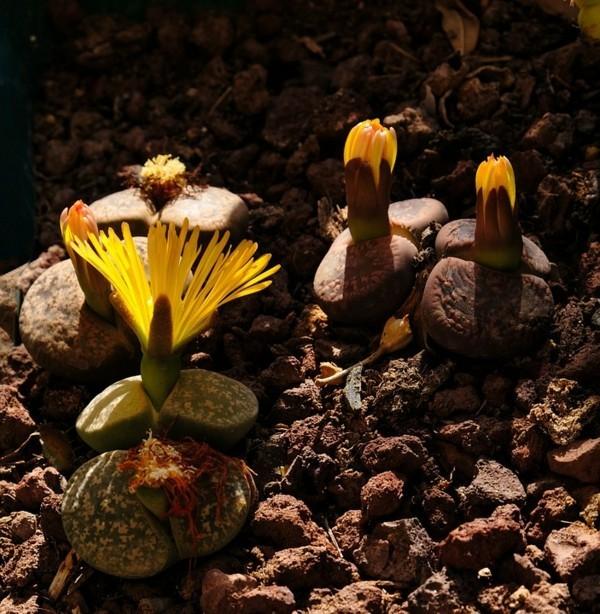 lebende steine lithops sukkulenten
