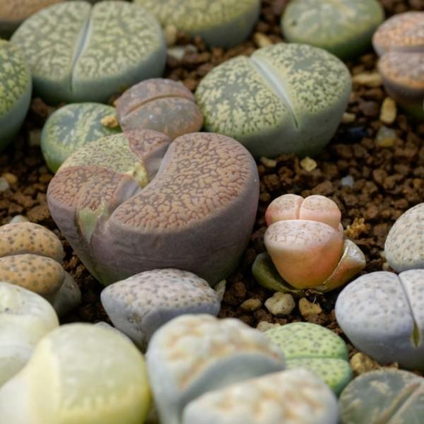 Sukkulenten LEBENDE STEINE !i von echten Steinen kaum zu unterscheiden i