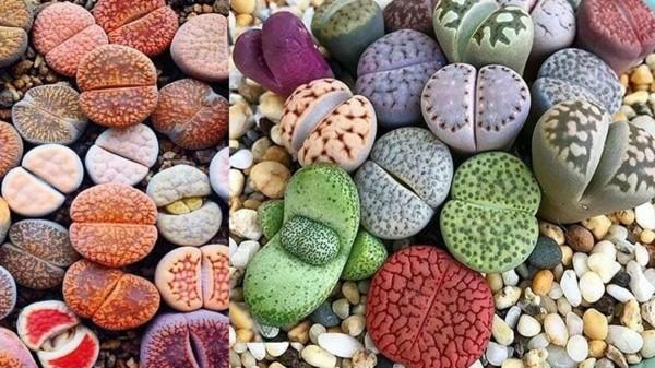lebende steine sukkulenten pflegetipps