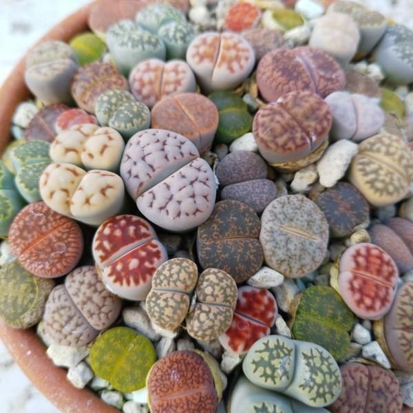 lebende steine sukkulenten tipps