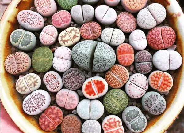 lithops lebende steine sukkulente