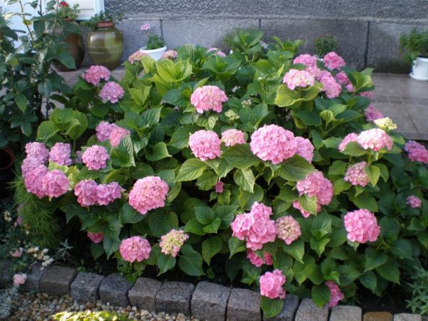 moderner Garten Tipps Hortensien schneiden