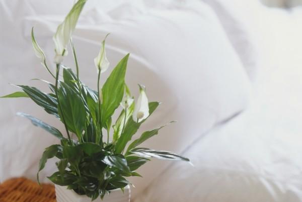 pflanzen im schlafzimmer einblatt friedenslilie