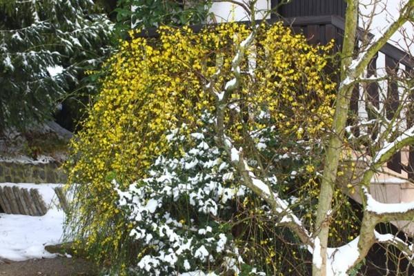 prächtige gartenpflanze winterjasmin