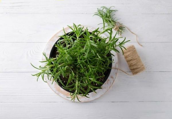 rosmarinöl und pflanze wirkung
