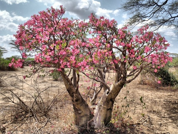 wüstenrose ademium große pflanze