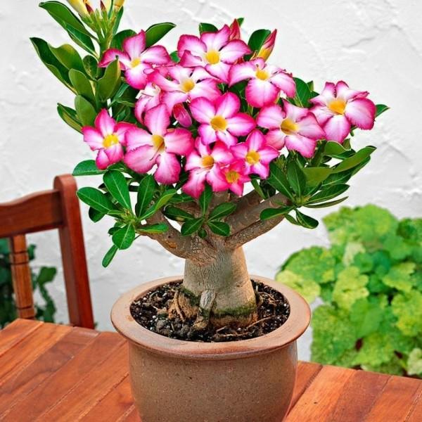 wüstenrose adenium zierpflanze pflegen