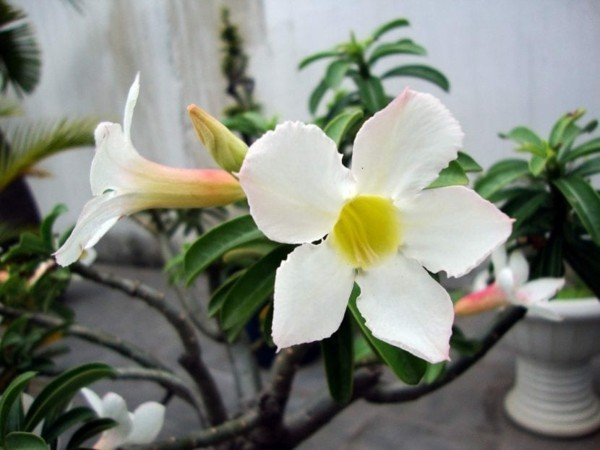 weiße blüte wüstenrose adenium