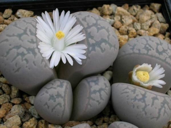 weisse blüten graue lebende steine sukkulenten