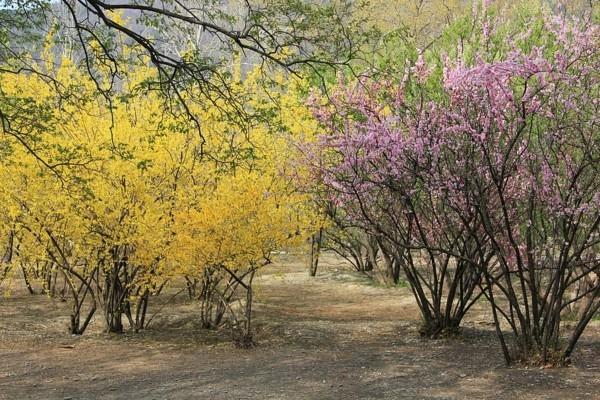 winterjasmin gelb blühend