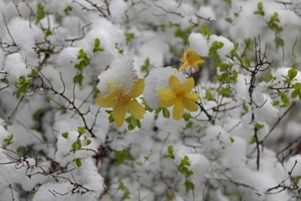 winterjasmin im schnee