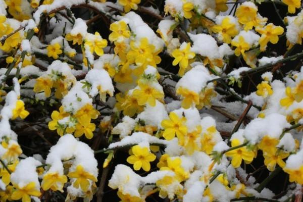 winterjasmin schneiden gartentipps