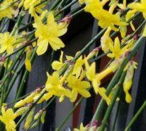 Winterjasmin richtig pflegen – die frische Blütenpracht in der kalten Jahreszeit