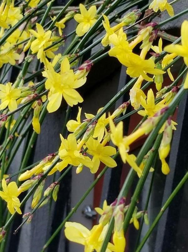 wunderschöner winterjasmin gelbe blüten